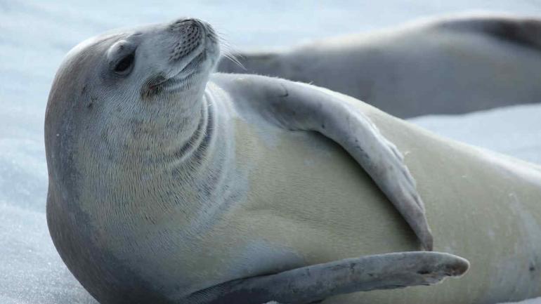 ROSS. La foca de Ross, de la Antártida, es la que más se asemeja a un cetáceo. (Wikimedia)