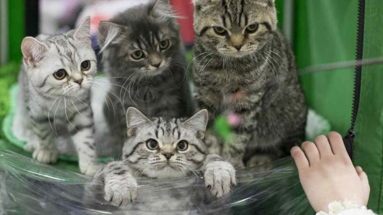 ESTUDIO. Los científicos analizaron el ADN de unos 200 gatos antiguos de todo el mundo. (AP)