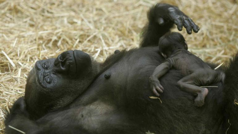 GORILA. Los primates están entre las especies más amenazadas. (AP/Archivo)