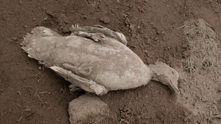 El cadáver de un pato cubierto con ceniza pesada arrojada por el Volcán de Fuego (AP).