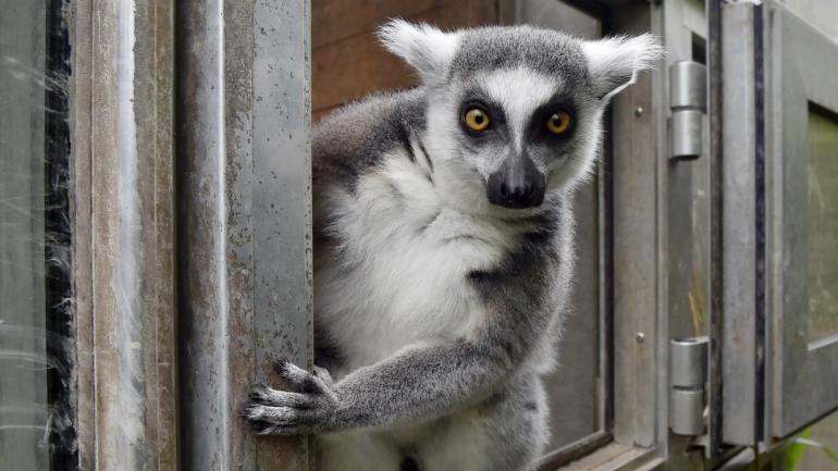 ÚLTIMOS. Las poblaciones de muchas especies, como el lemur de cola anillada, sólo tienen unos miles de individuos. (AP)