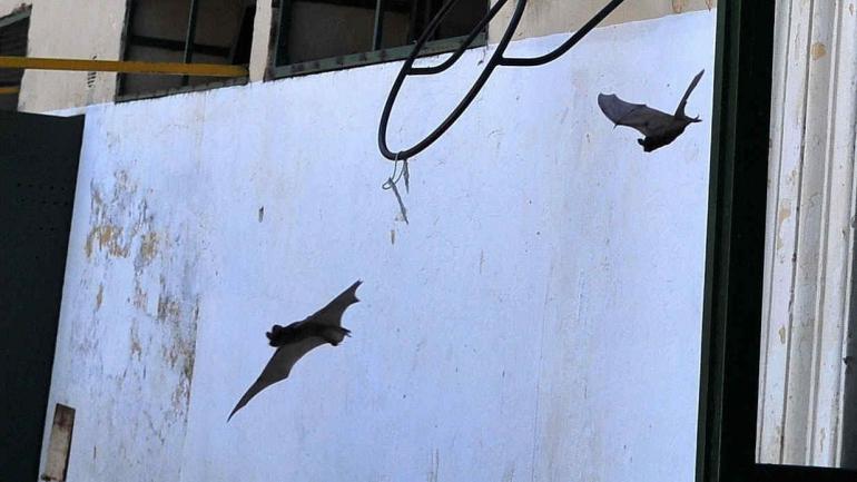 Se mudaron. Los murciélagos llegaron desde una iglesia vecina.