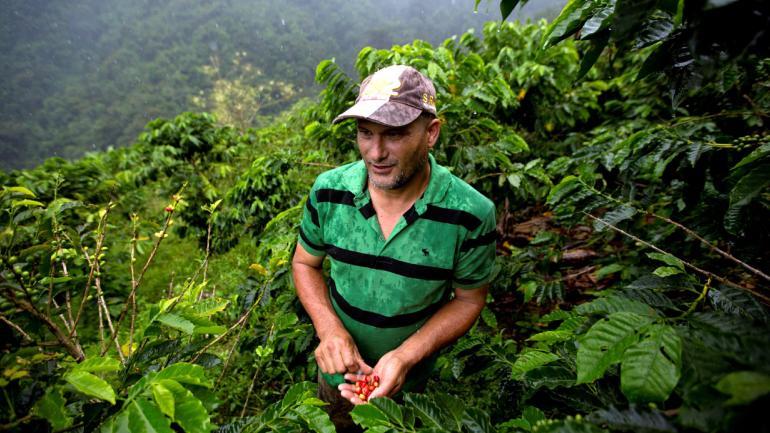 El granjero Simón Then muestra granos de café rojos que recolectó en su finca de café orgánico en la zona costera de Carayaca, en las afueras de Caracas, Venezuela. (AP Foto / Fernando Llano)